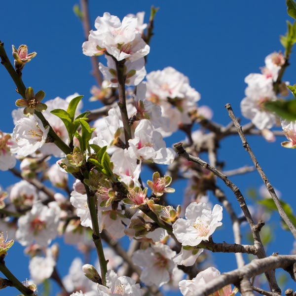 an almond tree with blossoms